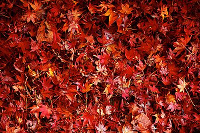 red_maple.jpg